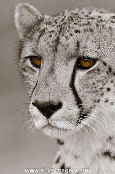 Cheetah - by Roger de La Harpe. Phinda / Munyawana / Zuka Game Reserves. KwaZulu Natal. South Africa.