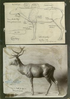 AMNH Image Collection | Caribou: drawing with notes, photograph of clay sculpture