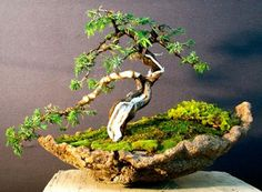Common juniper -Collected, wired and potted by Andrew Smith
