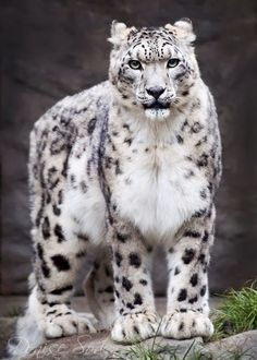 Snow Leopard photography by Denise Soden #DeniseSoden #SnowLeopard #Photography