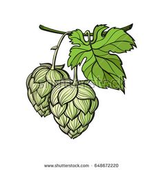 Find Hand Drawn Hop Plant Monochrome Vector stock images in HD and millions of other royalty-free stock photos, illustrations and vectors in the Shutterstock collection. Plant Painting, Plant Drawing, Painted Signs, Painted Rocks, Hop Tattoo, Hops Plant, Beer Hops, Brewery Design, Plant Tattoo