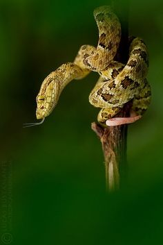 Spotted Lancehead (Bothrops punctatus) - Juvenile by Lucas M. Bustamante on Flickr