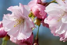Bildresultat för körsbärsträd