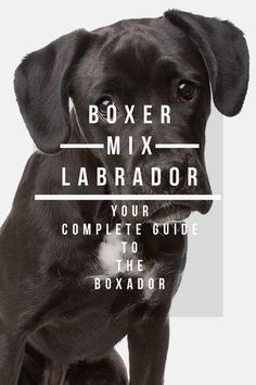 Welcome To Our Complete Guide To The Boxador. The lively and characterful Boxer Lab Mix. Boxer Lab Mix Puppies, Boxer Labrador Mix, Boxador Puppies, Boxer Puppies For Sale, Boxer Breed, Black Labrador, Boxer Dogs, Dog Mixes, Dog Quotes