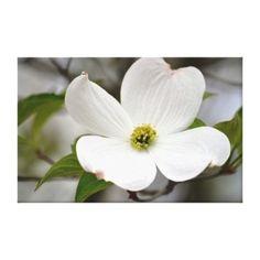 #white #dogwood flower