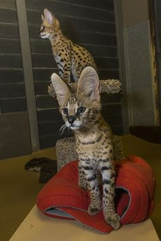 Meet the Safari Park's new serval ambassadors, Emmett and Boise. We're just smitten for these #kittens.