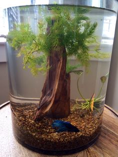 Betta tank. Used drift wood and live floating plants with a cylinder 3 gallon…