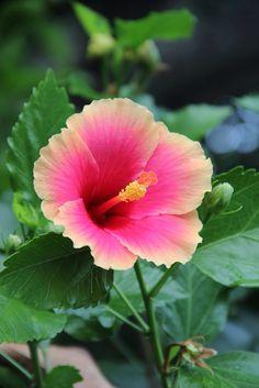 Hibiscus at Luisa Ridge Hot Spring Resort, Laguna