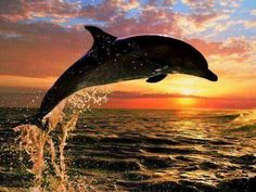 leaping dolphin at sunset