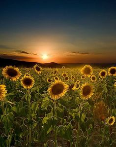 Sunflowers Feilds,Tuscany,Italy Val D'orcia Siena