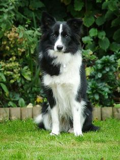 Border collie, by Scott Walker. #BorderCollie