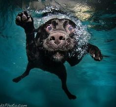 LABRADOR – Who can resist a lab puppy? ❤ Labrador Retriever: Found you! Funny Dogs, Funny Animals, Cute Animals, Animals Dog, Funny Puppies, Animals Amazing, Silly Dogs, Wild Animals, Dogs Underwater