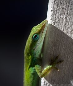 "Close-up of a Green Anole. This small green lizard typically grows up to 6"" in length with a bright or medium-green back and white belly. When threatened, it will show off a bright red throat pouch (called a dewlap) as a sign of aggression. Green anoles also show dominance by flaring their dewlaps. Photo by @tasneemphotography Forest Habitat, Bald Head Island, Wildlife Photography, Habitats, Close Up, Pouch, Bright, Sign, Medium"