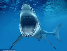 Megalodon successor– Shark the ancient sea monster The Great White, Great White Shark, Biggest White Shark, Shark Photos, Shark Jaws, Scary Shark, Big Shark, Fish Wallpaper, Fireworks Wallpaper