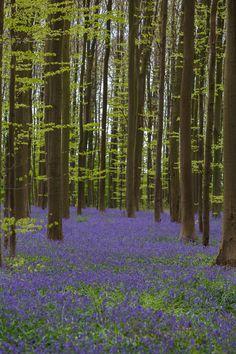 Bluebells in Belgium