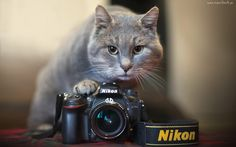 Kot, Aparat, Fotograficzny, Nikon