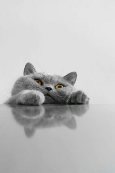 - Gentleman, could you give me some help? (Dying of cute) - [British Cats] - Gatos Baby Animals, Funny Animals, Cute Animals, Grey Cats, Blue Cats, Cute Kittens, Cats And Kittens, Bengal Kittens, Beautiful Cats