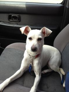 GINGER is my name and I am a female Whippet/Chihuahua mix. I am only 7-8 months old.  My coat is white.  I am great with kids and other dogs especially. I do need someone to adopt me and give me a forever loving home.For more information on GINGER...