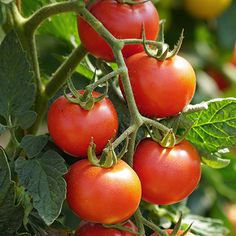 Garden Ideas & Projects - The Home Depot Tips For Growing Tomatoes, Types Of Tomatoes, Growing Vegetables, Grow Tomatoes, Compost Tea, Organic Compost, Eggplant Benefits, Tomato Fertilizer, Fall Crops