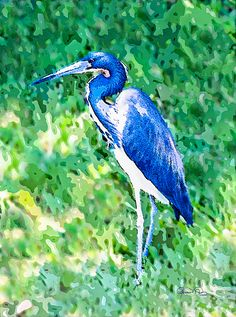 """""""Watercolor Heron in Grass"""", a digital photo-watercolor. This was the first Little Blue Heron I had ever seen. Aren't they beautiful? It had stopped by our neighborhood's front lake early in the morning and I was lucky enough to walk by with my camera. This original photograph has been digitally watercolored and is signed and dated by the photographer/artist. You'll find other avian photographs and photo-art plus coastal and tropical artwork on my website at www.susan-molnar.pixels.com."""