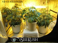 Today's featured #OrganicGrow Uploaded by How Do You Grow Pot ?  #KushPhoto @iSee Kush #WeedPlant #Organic #Grow #Weed #Cannabis #THc #Cannabisplant #Tent #growTent   Share your #Marijuana Grow photos and Videos at iSeeKush - The social network - devoted to #MedicalMarijuana.