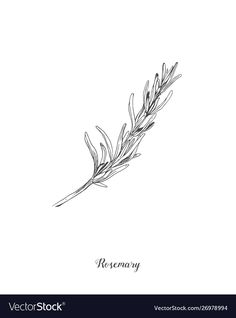 Botanical rosemary branch vector image on VectorStock Flower Tattoo Designs, Flower Tattoos, Rosemary Tattoo, Herb Tattoo, Botany Illustration, Flower Line Drawings, Branch Vector, Branch Tattoo, Dainty Tattoos