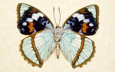 unusual butterflies | Rare Seafoam Blue Unusual Framed Butterfly by REALBUTTERFLYGIFTS