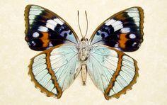 unusual butterflies | Rare Seafoam Blue Unusual Framed Butterfly by REALBUTTERFLYGIFTS