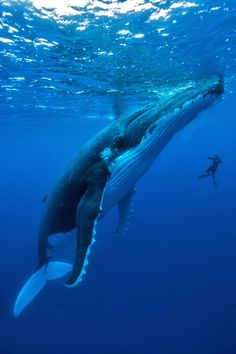 Humpback whale song is drowned out by loud cargo ships. - # - Humpback whale song is drowned out by loud cargo ships. Rare Animals, Animals And Pets, Strange Animals, Ocean And Earth, Whale Song, Humpback Whale, Sea World, Ocean Life, Marine Life