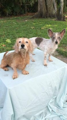 Shih Tzu Rescue | Available Dogs for Adoption Shih Tzu Puppy, Shih Tzus, Baby Dogs, Dogs And Puppies, Shih Tzu Rescue, Small Dog Rescue, Teacup Dogs, Mixed Breed, Pet Adoption