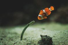 "Nemo & the Garden Eel!  Garden eels usually hang out in a gang and all ""move"" together.  I could watch these guys all day long!  they make me LOL in my regulator!"