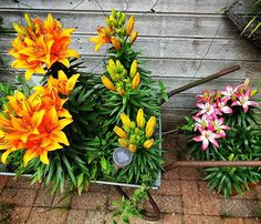 My lillys have come out at last pink and orange! At Last, Flowers Nature, Nature Photography, Colour, Orange, Twitter, Garden, Plants, Summer