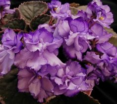 Got to have this !!! Buckeye Butterflies | (8584) 01/25/1997 (P. Hancock) Semi-double lavender two-tone ruffled pansy/thin purple edge. Variegated dark green, pink and cream, plain, pointed, serrated. Standard. (DAVS 1613)