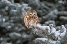 Saw-whet Owl Photo by Darren Best — National Geographic Your Shot