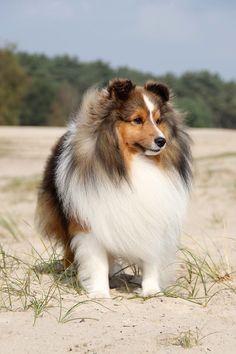Shetland Sheepdog ~ USA Type   'CasidiTeam {FCI} Unreal Beauty' ~DUKE~  Caentoo Shelties