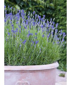 """Lavender: """"Lavender has a fragrant smell that deters mosquitoes,"""" garden lifestyle expert Carmen Johnston says. """"I have this planted in clusters at the entryway of my garden, and I love those purple blooms. It likes to be hot and dry, so it's perfect for summer."""" You can also apply lavender oil to your skin as a natural repellent."""