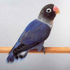 Yahoo!きっず図鑑(ペット)「コバルトブルーボタンインコ(鳥 - インコ類)」のページだよ。「コバルトブルーボタンインコ」の特徴や飼い方を調べてみよう! Yahoo!きっず図鑑は無料で使えるマルチメディア図鑑です。