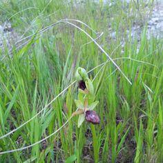 Orchidee selvatiche nel Parco Litorale di Ugento in Salento