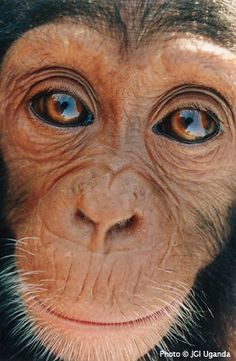 do you notice that the dark spots in the chimps eyes are a shadow of a person, but shaped as a heart! ♥