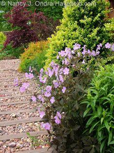 Geranium maculatum 'Espresso' against Buxus sempervirens 'Latifolia Maculata' at Hayefield.com