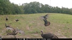 In-flight turkeys caught on our Browning #ReconForce game camera  #browningcameras #youvegottoseethis #hunting #turkeys #browning #trailcampics