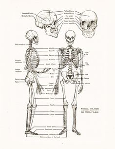 Anatomy skeleton study guide answers
