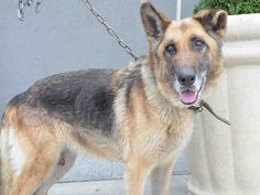 Safe ❣ ZELDA – A1068982  FEMALE, BROWN / BLACK, GERM SHEPHERD, 8 yrs STRAY – STRAY WAIT, NO HOLD Reason STRAY Intake condition UNSPECIFIE Intake Date 03/31/2016, From NY 11208, DueOut Date 04/03/2016, SAFE