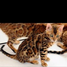 Bengal cats are spot on