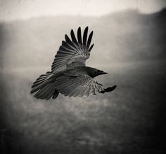The Raven, photography by Holger Droste. 5DMKII -24/105L. In Nature, Animal, Bird. The Raven, photography by Holger Droste. Image #416107