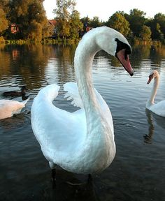 """""""Swan on Avon"""" by Mr. Physics on Flickr - Walking in the early morning along the Avon River in Stratford, Ontario, Canada the photographer encountered these rather friendly swans."""