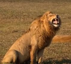 @Howley.in http://howley.in/things-that-go-moo/funny-lion-laughs-hahahahaha/ #FunnyVideo #Lion #LaughALoud #Howley Lion can't stop laughing, Listen to audio must to enjoy Lion laughs hahaha,laughing lion:) Video Source:https://www.youtube.com/watch?v=VPRuL9ACZeM