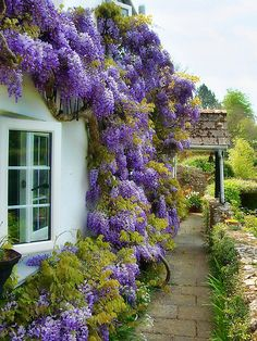 Blooming wisteria at a small cottage in Whitchurch Canonicorum, Dorset by Susie Peek-Swint