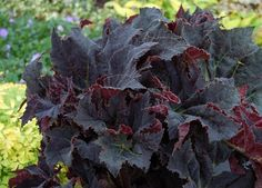 Image of 'begonia black mamba'