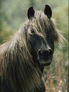 chincoteague ponies - Google Search